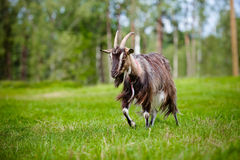 Brown goat on a field Stock Photography