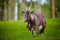 Brown goat on a field Royalty Free Stock Photo