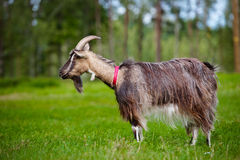 Brown goat on a field Royalty Free Stock Photography