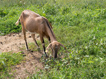 Brown goat grazing in field, agricultural detail,  Stock Photo