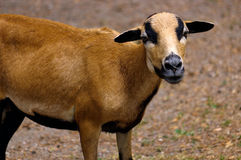 Brown goat grazing in a field, sheep Stock Image
