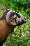 Brown goat grazing in a field, sheep, close-up Royalty Free Stock Photo