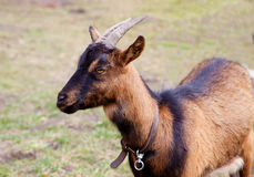 Brown goat grazing on a meadow Royalty Free Stock Images