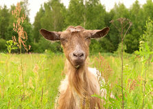 Brown Goat in green village Royalty Free Stock Image