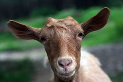 Brown goat head. Looking funny and confused Stock Photography