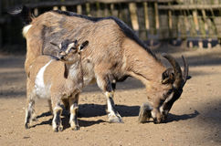 Brown goat with its young Royalty Free Stock Image