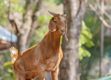 Brown Goat. In Khao Kheow Open Zoo Stock Image