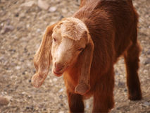 Brown goat kid closeup. A cute kid with brown fur and large ears Stock Photography