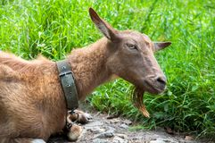 A brown goat is lying on the ground near the green grass. stock photo