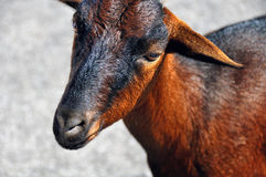 Brown Goat in Majorca, Spain Royalty Free Stock Images