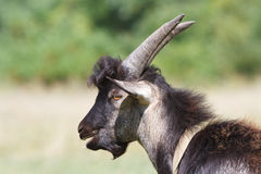 Brown goat male portrait Royalty Free Stock Photography