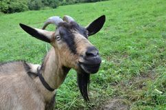 Brown goat on the meadow. Brown goat chained up on the meadow Stock Photo