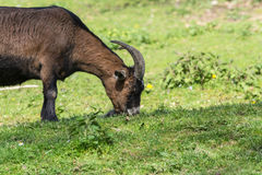 Brown goat on a meadow Royalty Free Stock Image