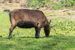 Brown goat on a meadow Royalty Free Stock Images