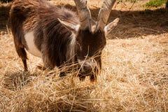 Brown Goat Munching Straw Stock Image