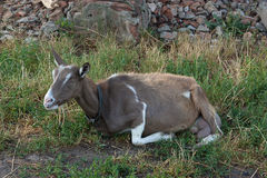 Brown goat Royalty Free Stock Image