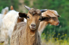 Brown goat Stock Photos