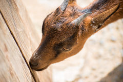 Brown goat. Royalty Free Stock Images