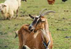 Brown goat Royalty Free Stock Photos