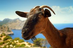 Brown goat on sky background Stock Image