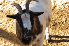 A brown goat smile to the camera stock images