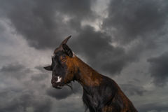 Brown goat standing against a stormy sky Royalty Free Stock Photos