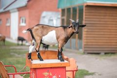 Brown goat standing on a cart royalty free stock image