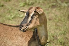 Brown domestic goat royalty free stock images