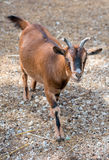 Brown goat. Stock Photography