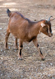 Brown goat. Royalty Free Stock Image