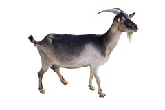 Brown goat. On a white background Stock Image