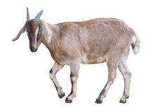 Brown goat on white. Brown goat isolated on white background royalty free stock image