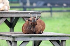 Brown goat at Zaanse Schans in The Netherlands, Holland, farm animals in Europe. Unique farm pets stock photo