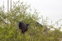 Brown goats climbing in argan trees to eat Morocco Essaouira. Brown goats climb in argan trees to eat Morocco Essaouira to eat argan nuts in the dry season to Royalty Free Stock Photography