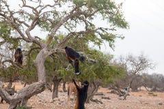 Brown goats climbing in argan trees to eat Morocco Essaouira. Brown goats climb in argan trees to eat Morocco Essaouira to eat argan nuts in the dry season to Stock Photos