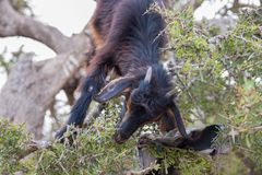 Brown goats climbing in argan trees to eat Morocco Essaouira. Brown goats climb in argan trees to eat Morocco Essaouira to eat argan nuts in the dry season to Royalty Free Stock Images