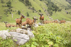 Brown goats in the french alps Stock Image