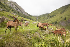 Brown goats in the french alps Royalty Free Stock Images