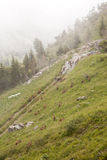 Brown goats in the french alps Stock Images