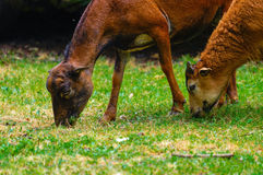 Brown goats grazing in a field, sheep Royalty Free Stock Image