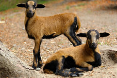 Brown goats grazing in a field, sheep Royalty Free Stock Photography