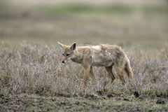 Brown or Golden or Asiatic jackal,  Canis aureus, Stock Photos