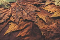 Brown and golden autumn leaves. Rough texture, close up royalty free stock photos