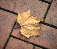 Brown Golden Autumn Maple Leaf Fallen onto Brick Path Stock Image
