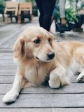 Brown Golden Retriever Lying on Floor royalty free stock photos
