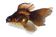 Brown Goldfish on White With Shade Stock Images