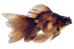 Brown Goldfish on White Without Shade Stock Photography