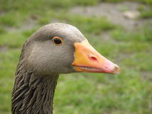 Brown Goose Royalty Free Stock Image