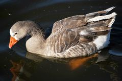 Brown goose Stock Photography
