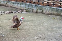 The brown goose is trying to take off. white head and red beak royalty free stock image